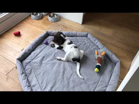 Puppy VS Carrott, English Springer Spaniel Puppy 9 Weeks Old Attacking A Carrott