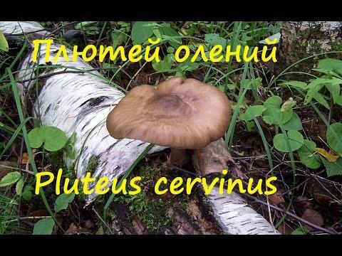 Плютей олений гриб на гнилушках