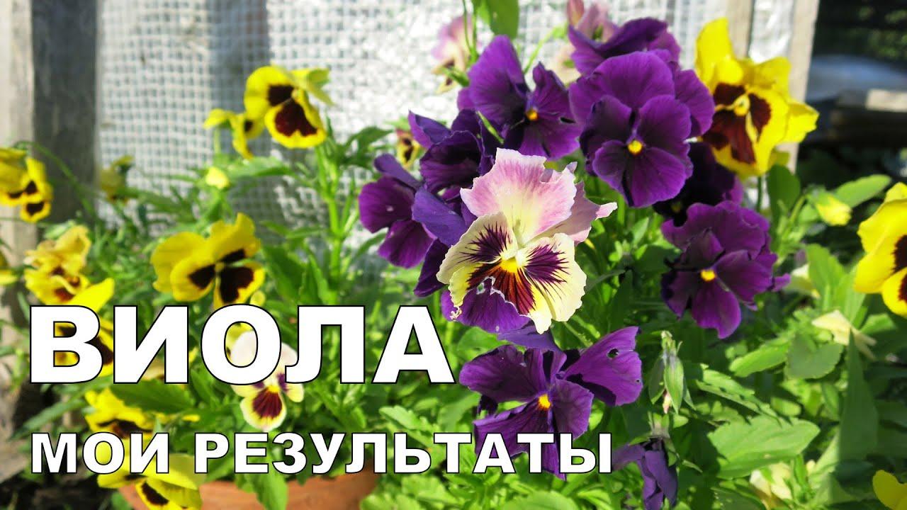 Как выращивают рассаду виолы 62