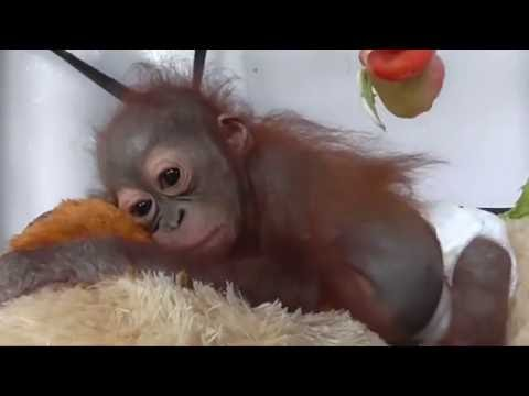 Watching this baby orangutan being nursed back to health will warm your heart