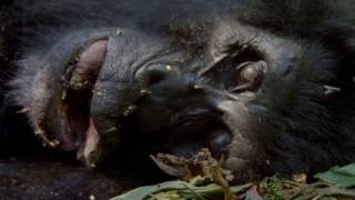 Mountain Gorilla A Shattered Kingdom ★ Documentary Discovery Channel