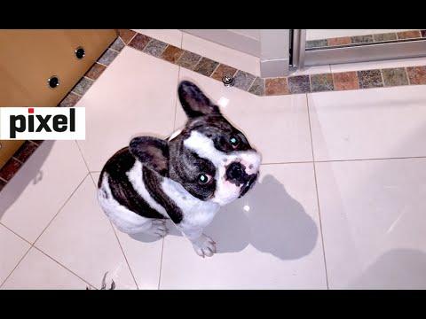 French bulldog pretends he's Roomba