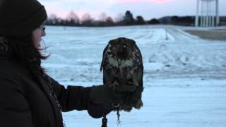 Red-tailed Hawk (Buteo jamaicensis) Falconry Training