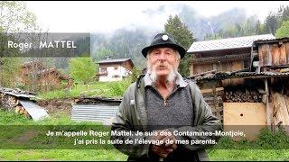 Vaches d'Hérens : combats de reines aux Contamines chez Roger Mattel