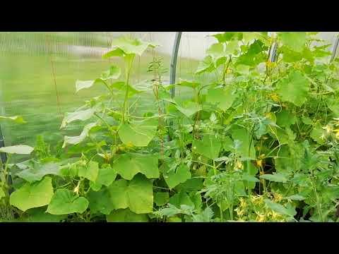 Как в одной теплице посадить перец, помидоры, огурцы и никого не обидеть