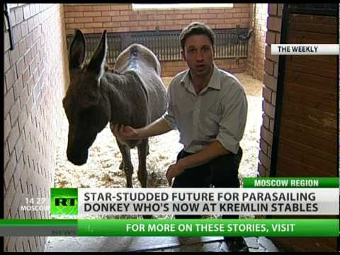 Parasailing Donkey in Rehab at Kremlin