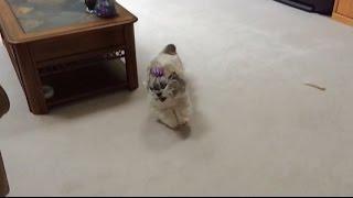 Happy Shih Tzu Dog Lacey Has The Zoomies...