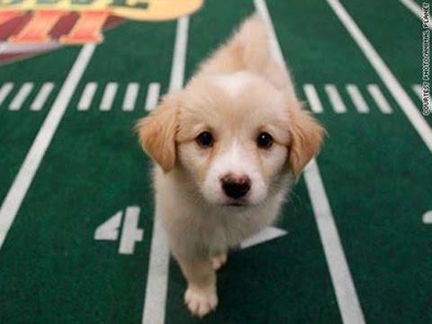 Puppy Bowl 2015 Animal Plannet