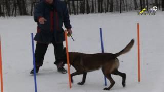 Аджилити, дрессировка воспитание собак, змейка обучение мячом, малинуа