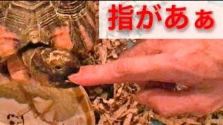 可愛いね リクガメ ちゃんは(ㆁᴗㆁ✿) マルギナータリクガメ 通常 フチゾ...