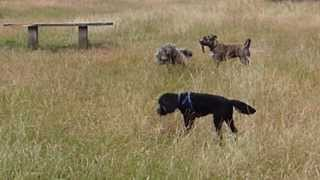 Staffordshire Bull Terrier Cross & Cavapoo Fighting For Panty Hose