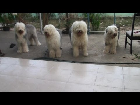 Olde English Sheepdog Tails Vol LXXIII The Birthday Party