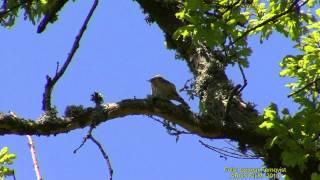 RÖDSTJÄRT  Common Redstart  (Phoenicurus phoenicurus)  Klipp - 1260