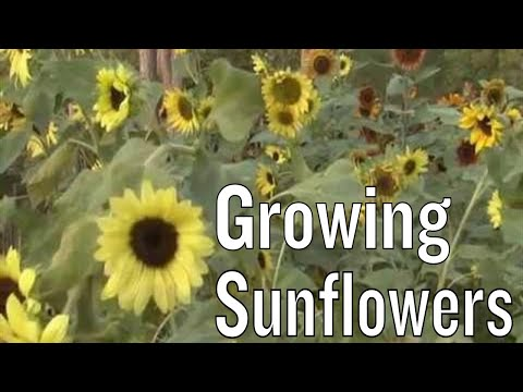 sunflowers-facts