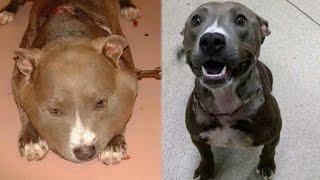 Pit Bull Found with Swollen Face From 6-Pound Chain Tied Tightly Around Neck