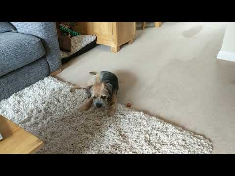 Border terrier Leeloo wants the thingamajig