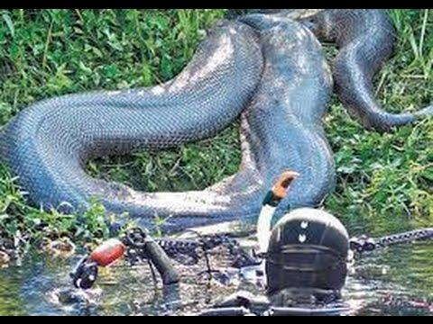 Real anaconda in amazon - photo#11