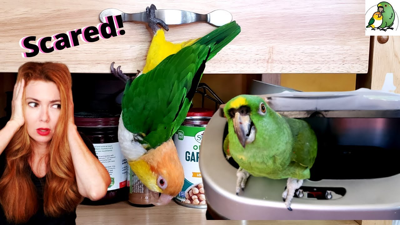 HELP! My Parrots Are Acting Crazy in The Bird Room