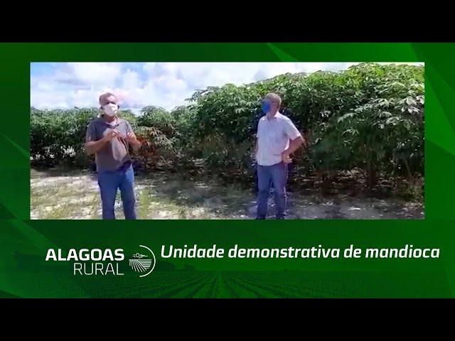 Os primeiros resultados de uma unidade demonstrativa de mandioca