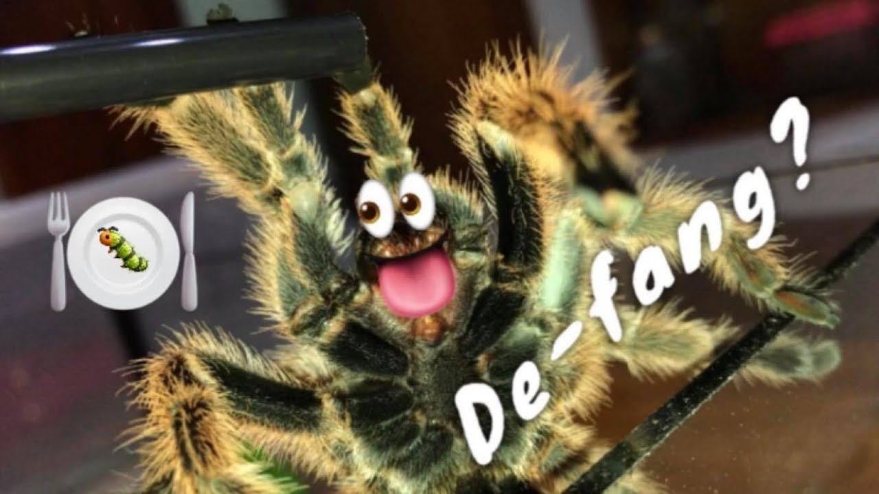Can / should you DEFANG a TARANTULA ??? Q&A