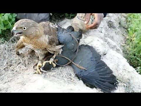 Download Amazing hunt of waterhen with shikra | Eagle attack, goshawk hunting | Wildlife Today