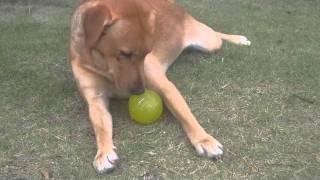 庭での一コマ。ラブラドールは確かに猟犬だ!