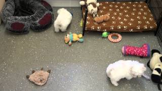 Little Rascals Uk Breeders New Litter Of Pedigree Maltese Puppies