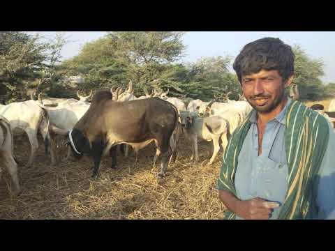 Kankrij cows  beauty of tharparker Sindh by ijaz riaz mastoi