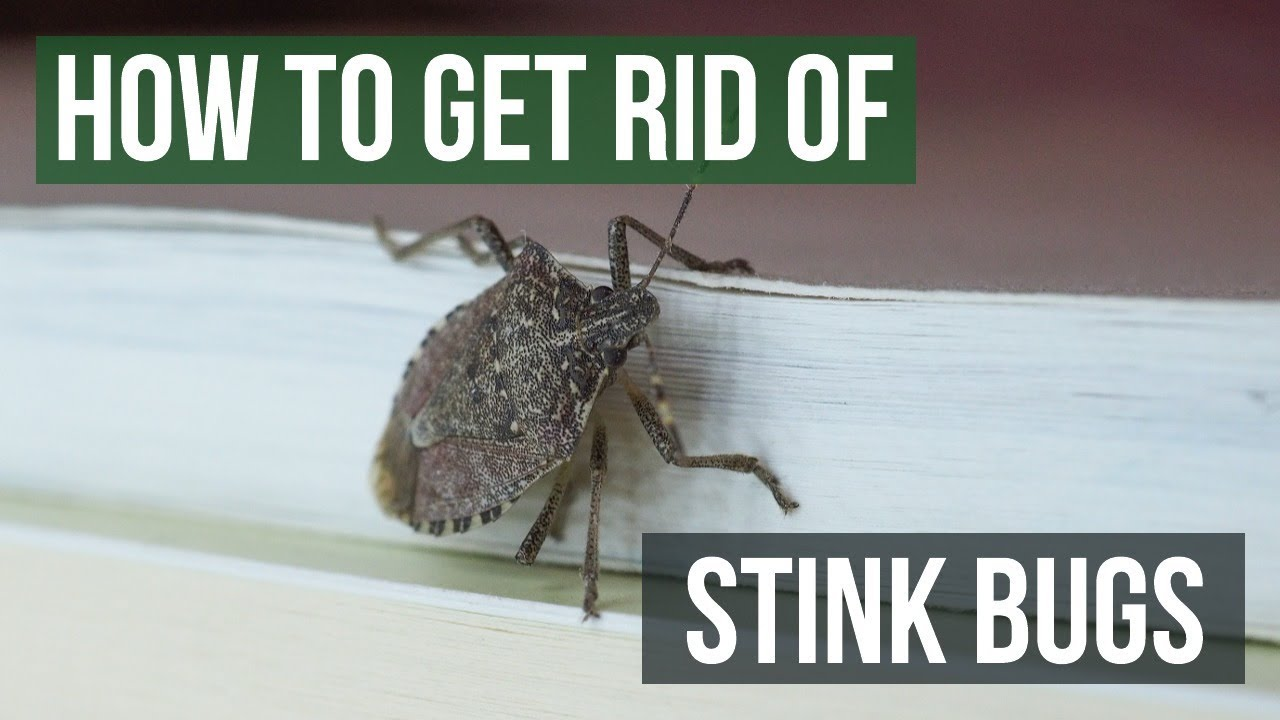 How To Get Rid Of Stink Bugs 4 Easy