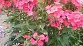 В этой группе вы можете ✓купить: корни пионов луковицы лилии корни флоксов розы клематисы гортензию махровую сирень клубнику.