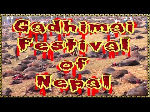 GADHIMAI'S ANIMALS' SACRIFICE IS BANNED IN NEPAL.