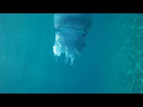 Big Blue Jellyfish