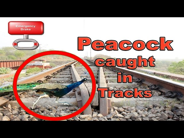 **Caught On Camera** Peacock Caught In Rail Tracks | Train Table | INDIAN RAILWAYS