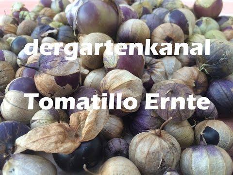 Tomatillo Pflege und Ernte | Tomatillo anbauen #2