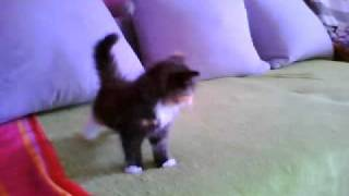 sweet Siberian kittens play with mouse