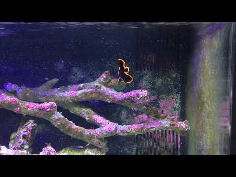 Juvenile Pinnatus Batfish 6/24/17