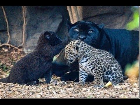 Животные мира Дикая природа Богатый берег Сердце страны Звуки джунглей Крупный ягуар Сильная красота - Видео онлайн