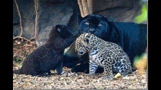 Животные мира Дикая природа Богатый берег Сердце страны Звуки джунглей Крупный ягуар Сильная красота