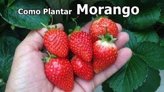 Como Plantar Morango da Forma mais Fácil