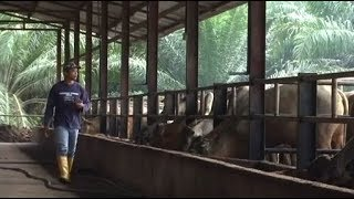 Ikon Agro: Ternak lembu dan tanam padi, boleh kaya?