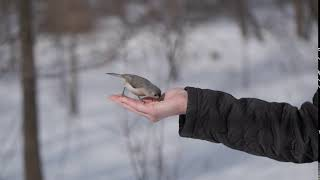 Lisa feeds a Tufted Titmouse in Central Park
