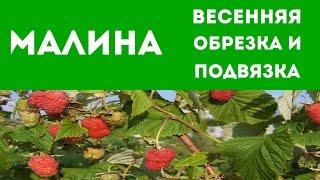 видео Обрезка и подвязка малины / Агротехника выращивания малины / ПлантЭксперт