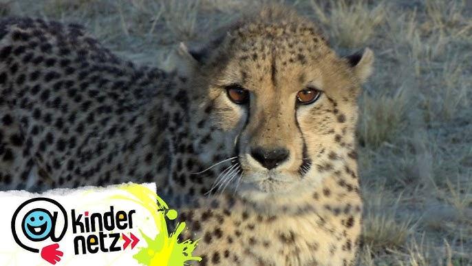 Geparden Auf Den Zahn Gefuhlt Oli S Wilde Welt Swr Kindernetz Youtube