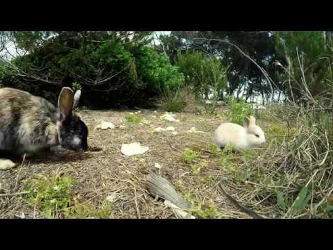 Risultati immagini per conigli sull'isola dei conigli a porto cesareo