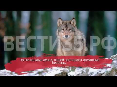 Лесной хищник наводит страх на жителей Сокола