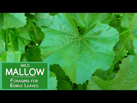 Mallow Plant Nutrition, Foraging for Wild Edible Malva Leaves