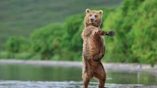Медведи На природе Танцы(Медведи.На природе.Танцы.Бурые медведи па природе танцуют.Белые медведи танцуют на природе танцуют. Видео:..., 2015-10-04T12:00:44.000Z)
