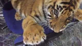 Cute little tiger cub wants the chair for himself