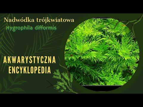 133. Akwarystyczna Encyklopedia - Hygrophila Difformis ( Nadwódka zmienna)