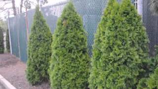 A Poor Location For Emerald Green Arborvitae